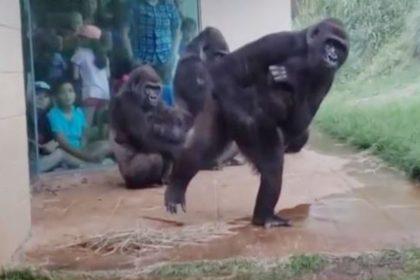 Gorillas do not like rain watch viral video on social media