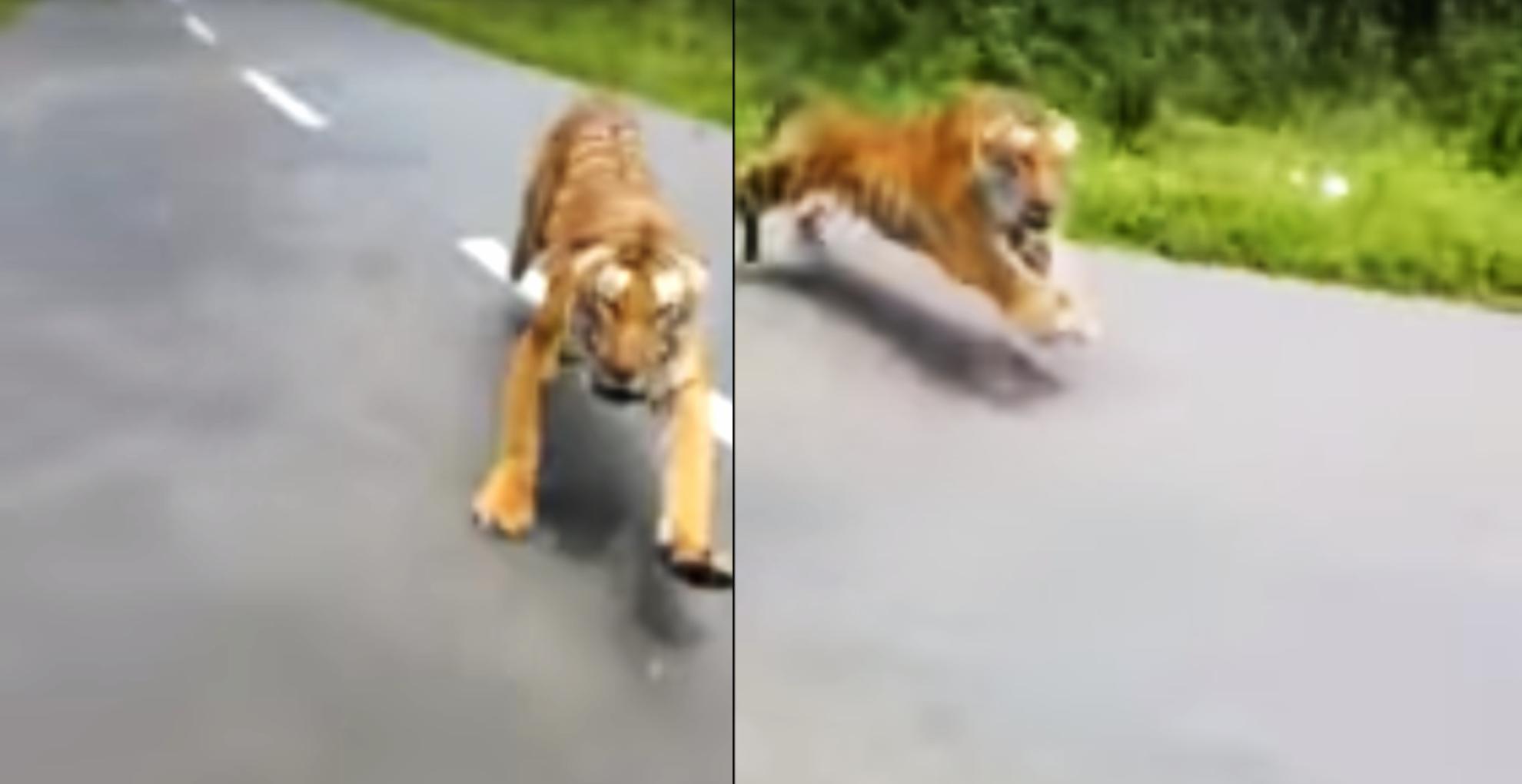 Viral Video: केरल के जंगल में दो बाइक सवार का पीछा करते नजर आया बाघ, देखिए रोंगटे खड़े करने वाला वीडियो