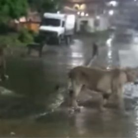 Lions roaming in streets of Gujarat video viral on social media
