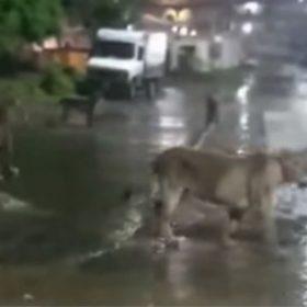 Lions roaming in streets of Gujarat video viral on social media