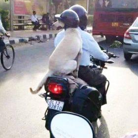 बाइक पर सवार कुत्ता हेलमेट पहने हुए (फोटो- वायरल)