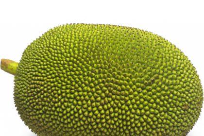 केरल में एक परिवार के बगीचे में उगा 50 किलो का कटहल, गिनीज रिकॉर्ड के लिए किया आवेदन